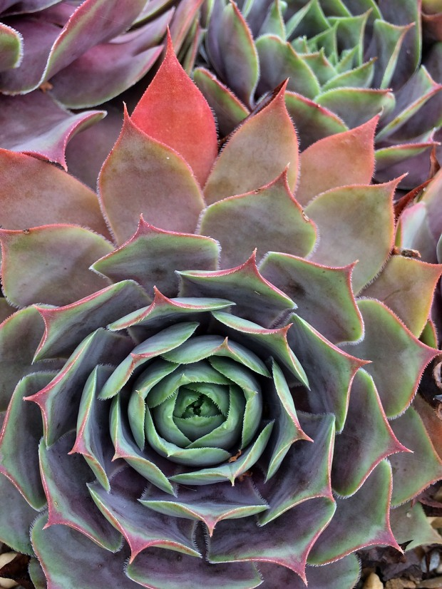 A closeup of Sempervivum 'Lady Kelly'