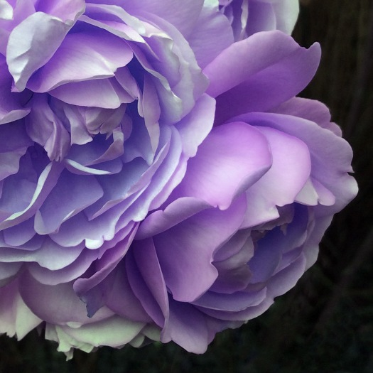 A digitally modified rose, turned lavender