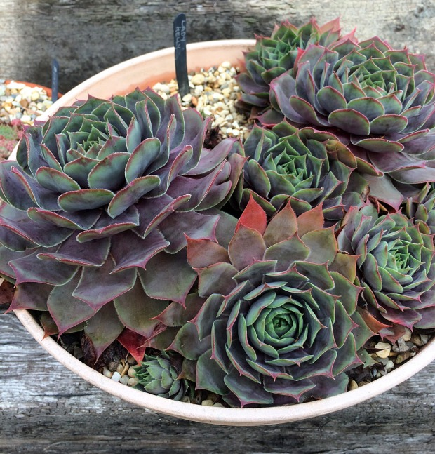 Sempervivum 'Lady Kelly' (hen and chicks)