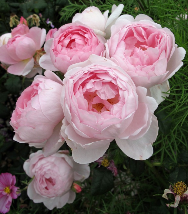 Shabby chic roses - pink as nature intended