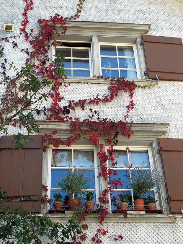 Vine trailing artistically around windows