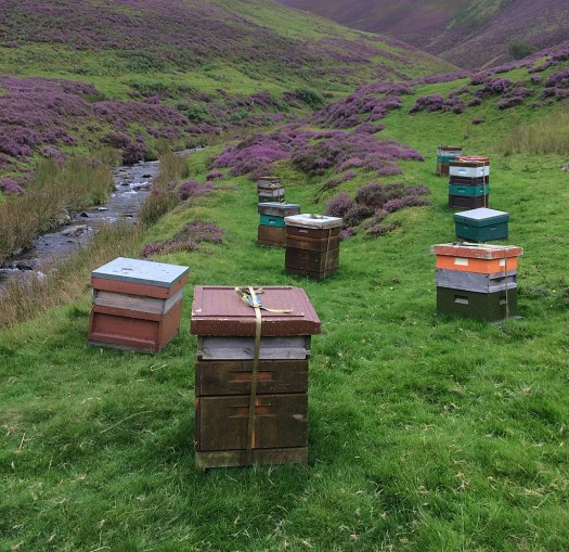 Wooden beehives in Scottish heather with a stream running by