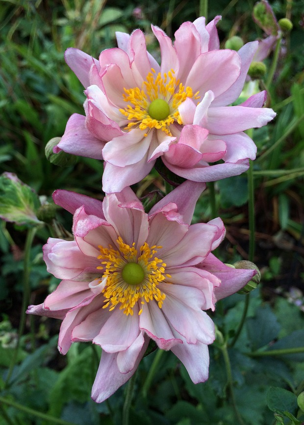 A dusky pink, double flowered anemone