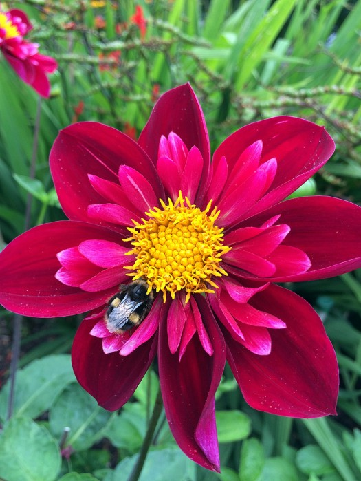 Bee resting on a fancy red dahlia
