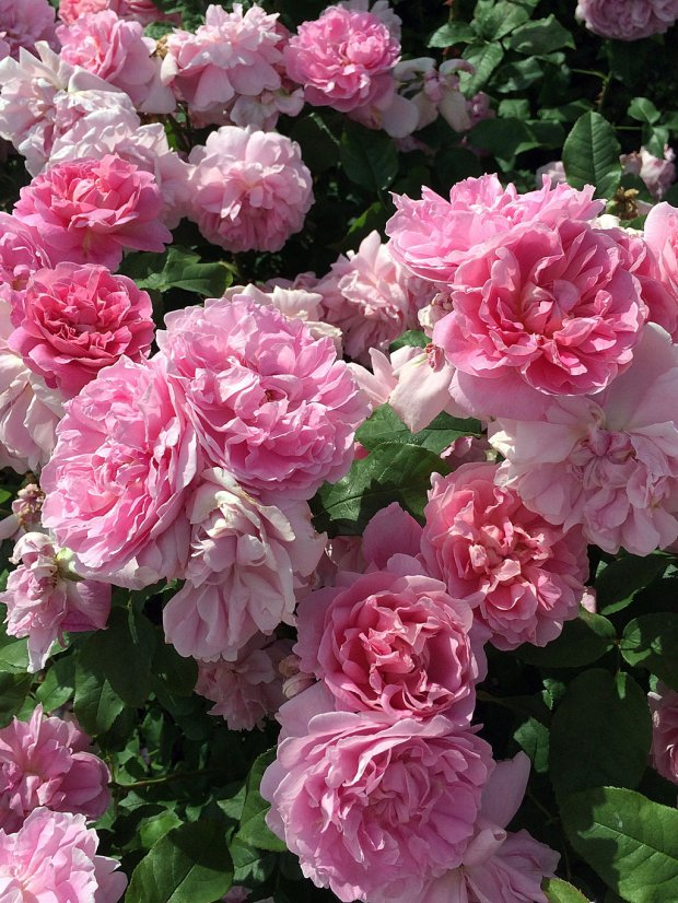 A cluster of old fashioned pink roses