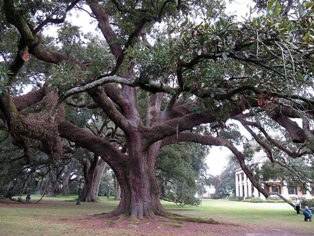 Live oak with people looking very small beside it