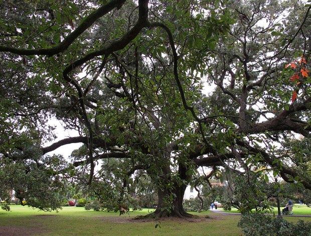 Southern live oak tree