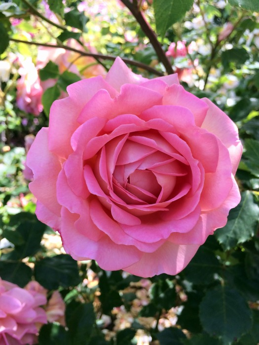 A pink, multi-petalled rose in a sunny garden