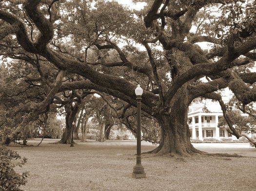 Live oak tree in sepia