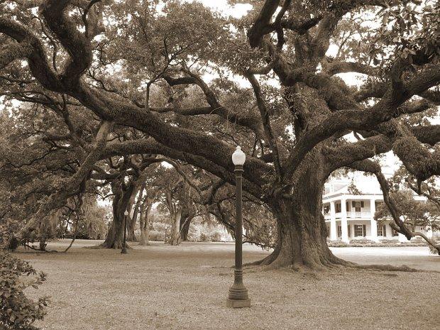 Live oak tree in sepia