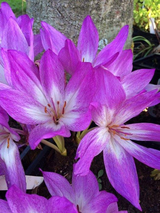 Bold pink colchicum