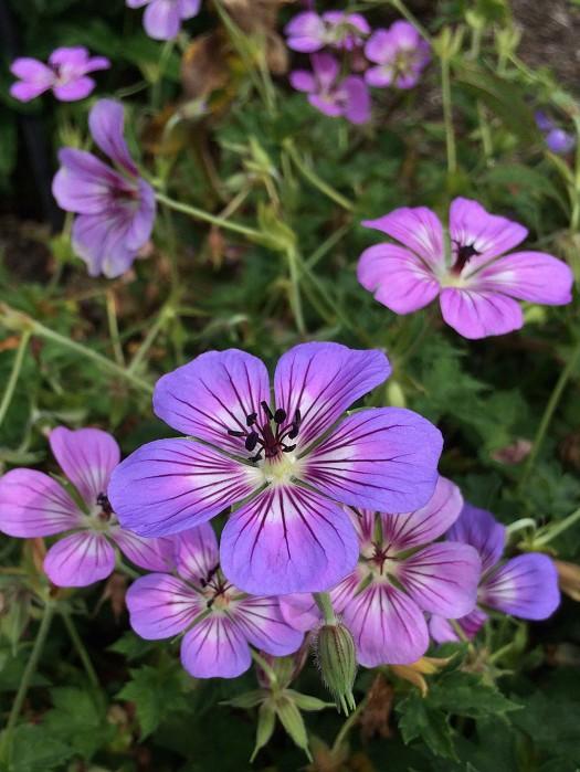 Pinkish blue flowers