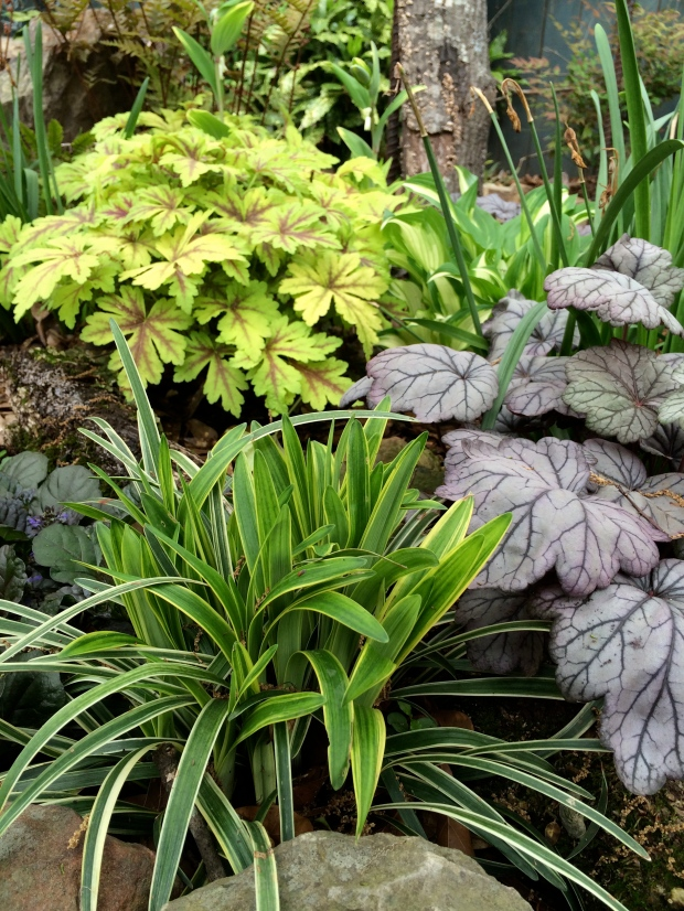 Two types of heuchera in a shady border
