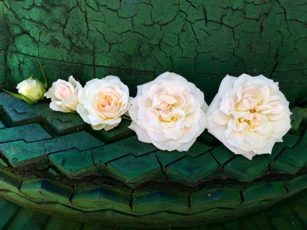 Five stages of a rose opening