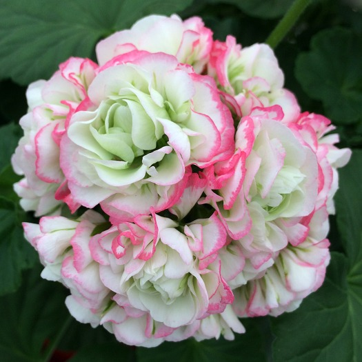 Geranium with pink edged white flowers