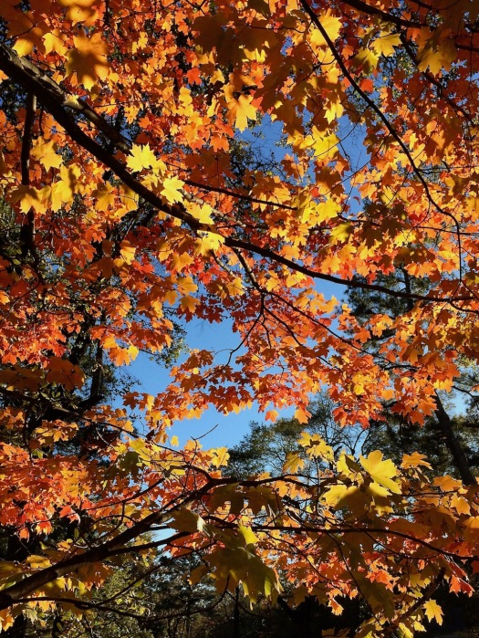 Golden and orange tree canopy
