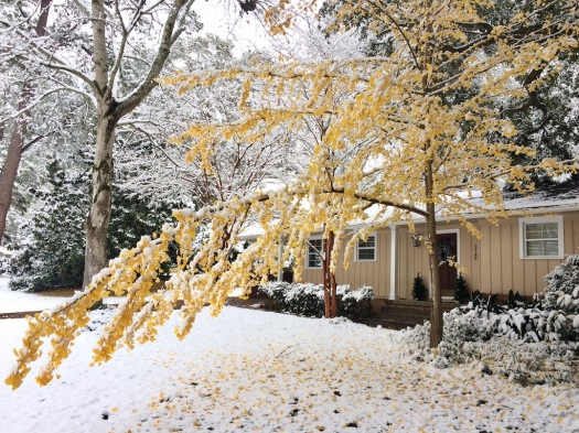 Ginkgo tree with golden leaves in a snowy garden