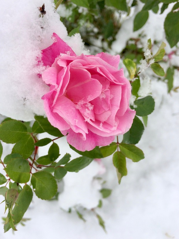 Pink rose with snow on its branches