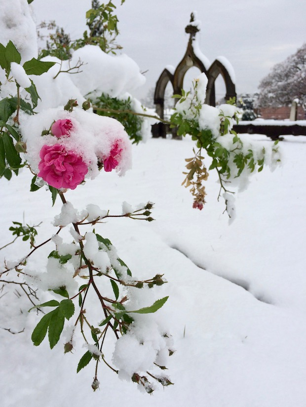 Roses in snow in a cemetery
