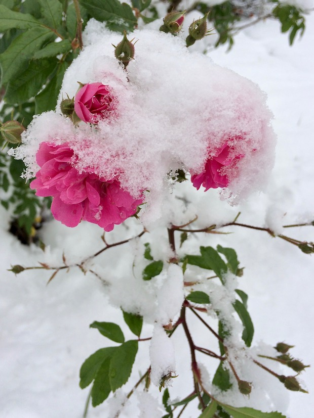 Trailing pink snow-covered roses