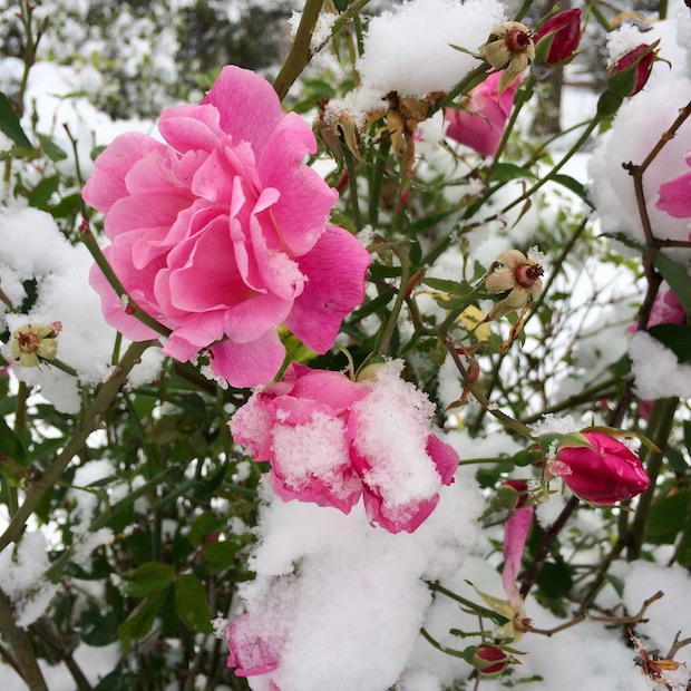 A tangle of snow covered roses