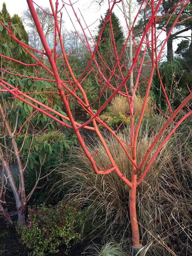 Small acer in a winter garden