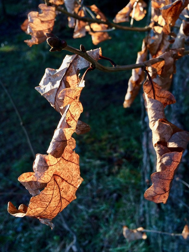 Dried leaves clinging to branches