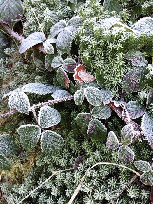 Brambles and moss, covered in frost