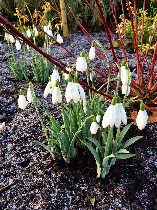 Snowdrops in a winter garden with a sprinkling of snow
