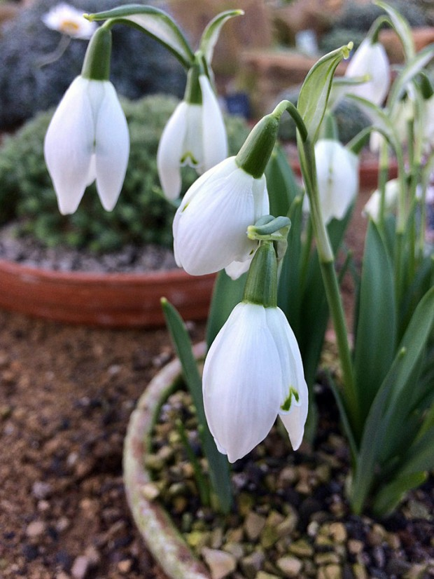 Snowdrops growing in a greenhouse