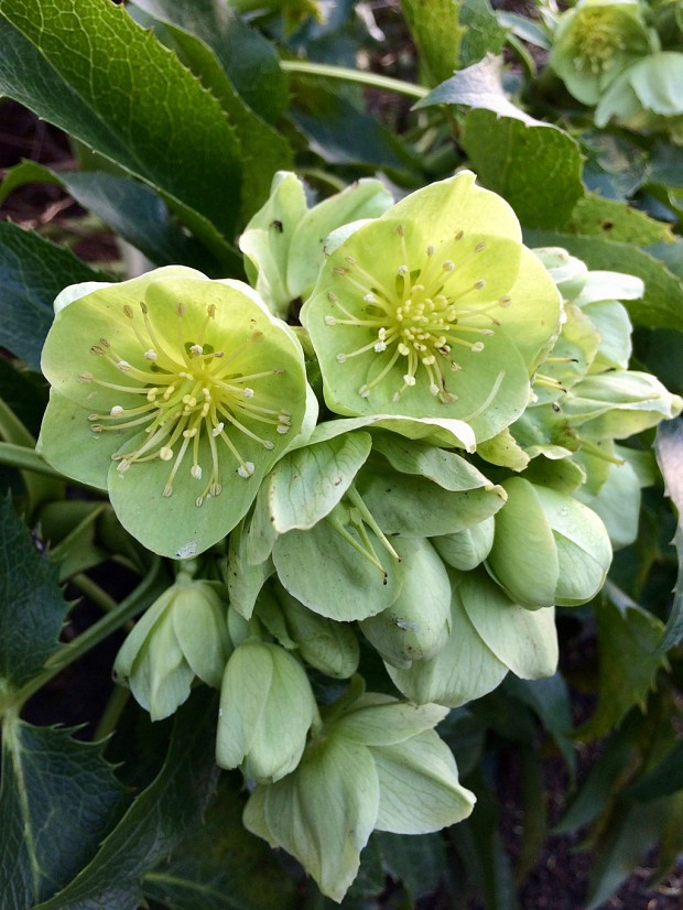 Hellebore with cluster of green flowers
