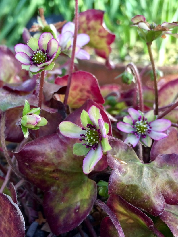 A close up of the leaves and flowers of a hepatica