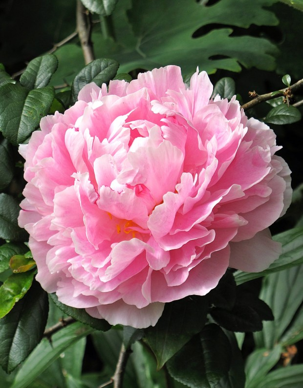 Pink peony with large double flowers