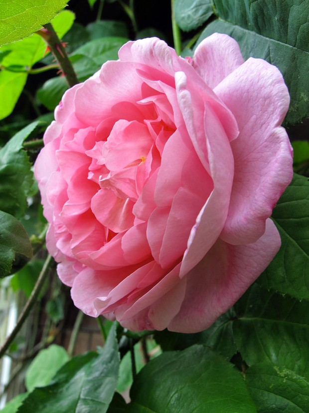 A double-flowered rose