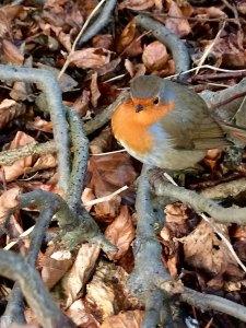 Robin perching on a branch