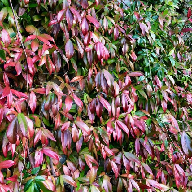 Vine with red-tinted foliage thickly covering a wall