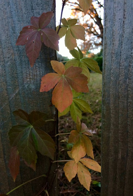 Virginia creeper leaves at dusk