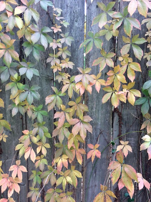 Virginia creeper on a fence