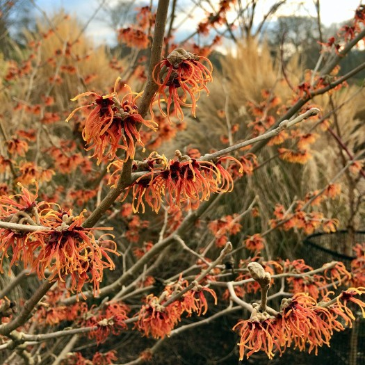 Hamamelis with orange flowers