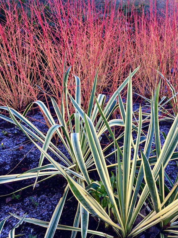 Striped leaves in front of red stems