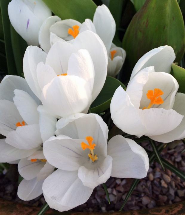 White crocus with pale stripe and bright orange anthers