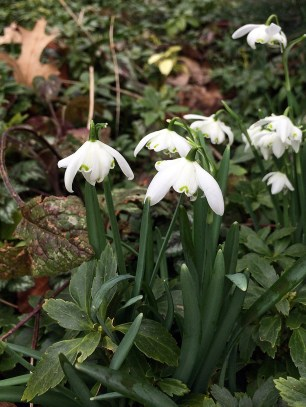 Double snowdrops with leaves