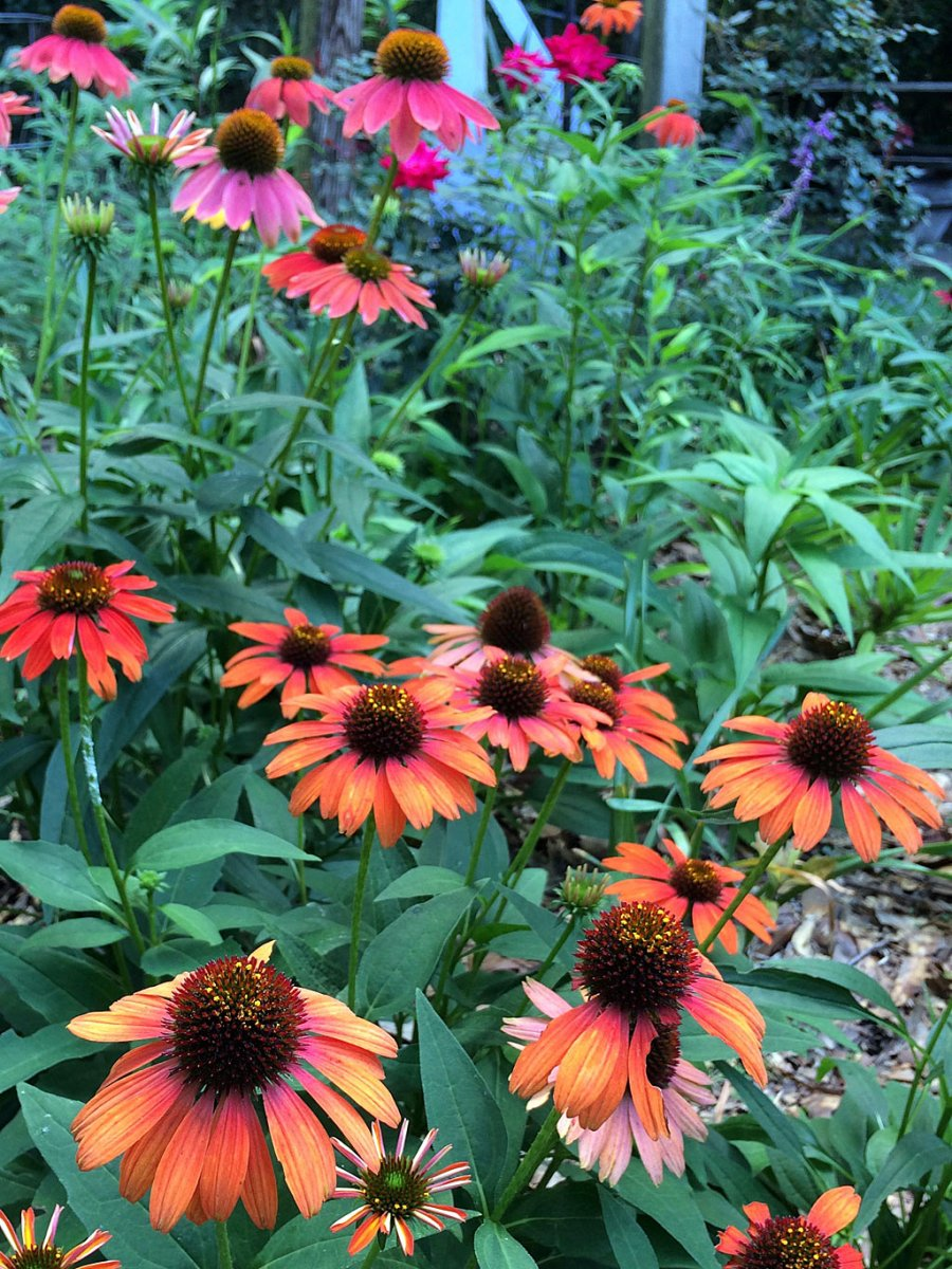 Daisy-like flowers in orange and pink