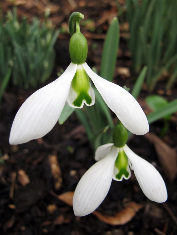 Snowdrop with fish-shaped green markings