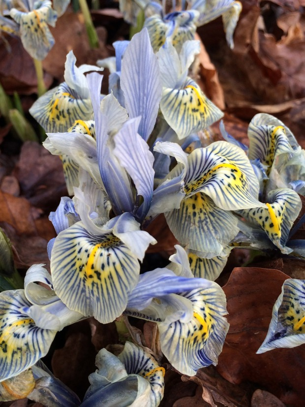 Small iris with blue stripes