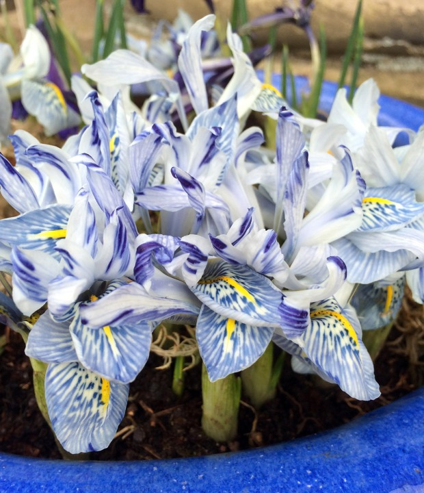 Cluster of irises in a pot