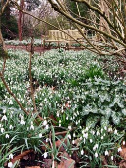 Snowdrops in a winter garden with a garden bench