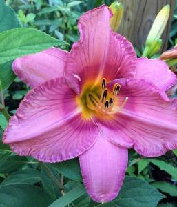 A close up of a daylily