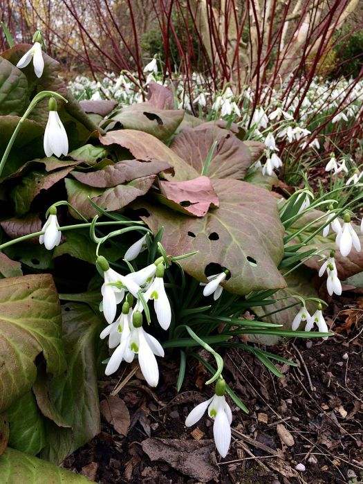 Snowdrops with large bergenia leaves in a winter garden
