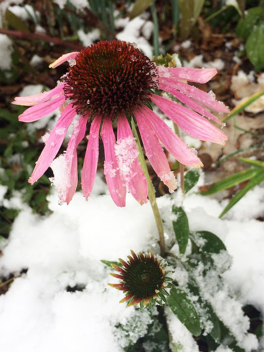Pink coneflower with snow on its petals